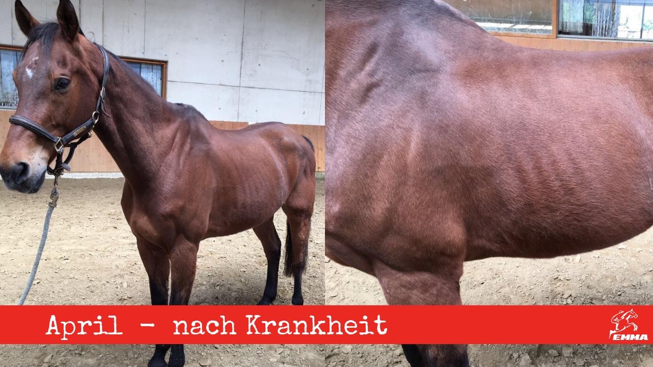 Pferd vorher nachher nach schwerer Krankheit